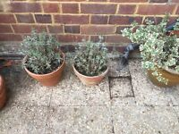 2 lavender plants
