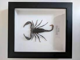 Framed Black scorpion