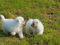 Gorgeous little girl bichon frise puppies £500