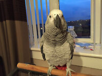 African Grey Parrot called Molly age 2 years