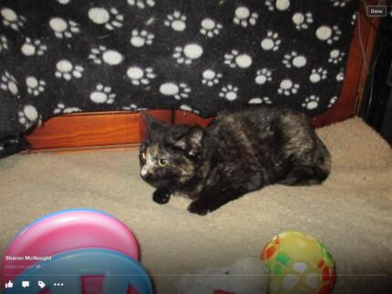 Gorgeous 5 month old dark torty lily looking for a forever home Cranebrook Penrith Area Preview
