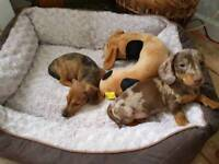 Miniature dapple Dachshund puppies