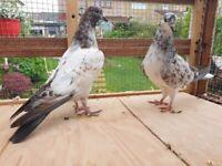 Iranian high flyer pigeons