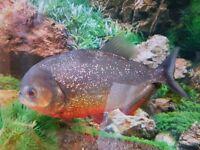 Roughly 3 year old piranha