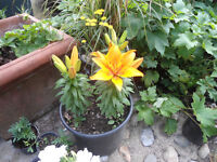 Plants for sale-Asiatic Lily plants in a large pot (12 litres)
