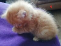 Beautiful kittens ready on 31 July 2020 -- ALL REHOMED