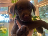 Labrador puppies ready 26 October ONLY 1 GIRL LEFT