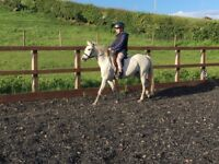 Reg sec b mare for sale or loan