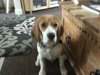 Marlow the 16month old Beagle dog is looking for a good new home!!