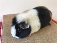 2 lovely Female guinea pigs