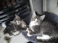 1 Gorgeous Grey Boy Kitten Left (mum ragdoll)