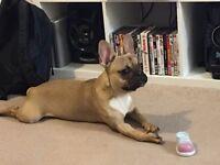 Cheeky Male French Bulldog