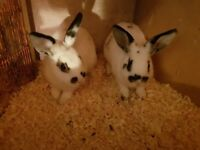 Baby Netherland cross rabbits