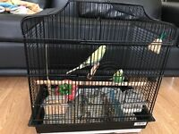 Beautiful pair of Budgies very healthy (12months age) with high quality cage, food pots and food