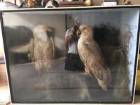 A Very Rare Pair of White Tailed Sea Eagles in Cabinet
