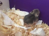 Winter white hamsters