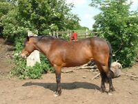 connemara ponies for sale