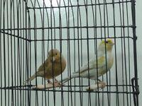 Agaat canary