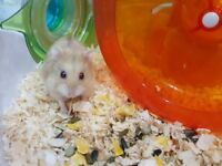 3 x dwarf hamsters and cages