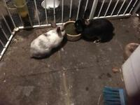 Two rabbits and cage for sale