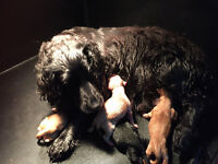 Cockapoo puppies F1 for sale. Both parents health tested and pedigree. will be wormed and chipped