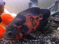 Oscar fish (tiger style)