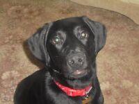 black labrador called dave needs a new home.