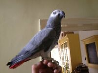 AFRICAN GREY PARROT,COMPLETE WITH CAGE,FOOD AND HATCH CERTIFICATE.