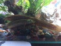 3x weather loaches - healthy and very active