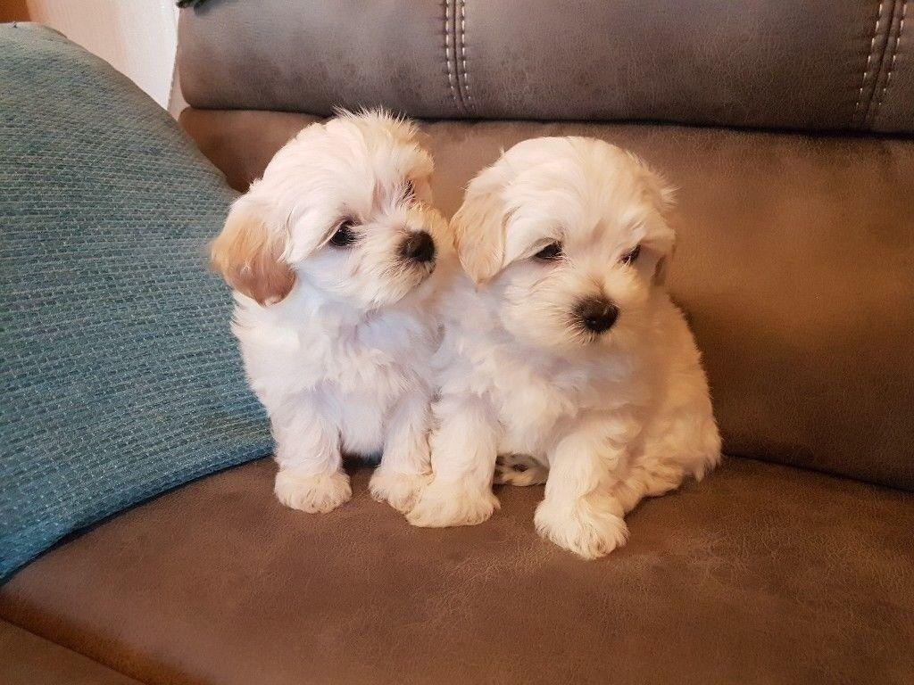 Beautiful Shichon Pups Shih Tzu X Bichon Frise In Newport Gumtree