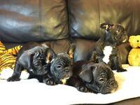 KC French Bulldog puppies puppy 5 generation pedigree certificate
