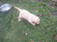 labrador pedigree pups