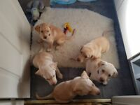 Husky/Vizsla Cross Puppies for sale
