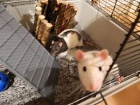 x2 Rats males for sale plus cage accessories and bedding food and vet carrier etc