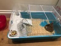 Dwarf Syrian hamster