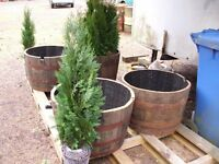 PAIR OF WHISKEY BARREL PLANTERS PLUS A PAIR OF 4ft TREES