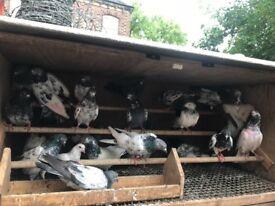 Pakistani high flayer Pigeon quick sale oooooo