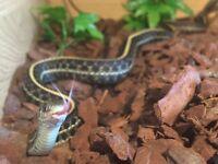 Plains Garter Snakes