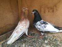 Pigeons | Birds for Sale - Gumtree