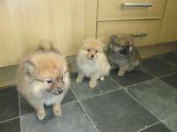 3 lovely pomeranian puppys