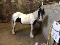 Traditional Gypsy Cob Filly