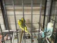 Budgies… Cockatiels… Canaries and Finches