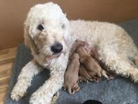 Gorgeous goldendoodle f1b puppies