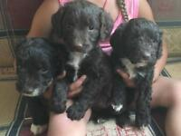Sproodle Puppies (ESS Spaniel x Poodle)