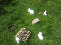 Hand reared friendlg baby white rabbits £20