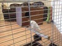 White Budgie With Cage.