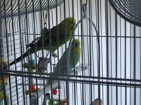 Free to Good Home - 2 x Male Budgies + Cage - great companions