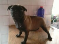 Pug for sale Platinum colour male