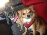 Two Adorable Pedigree Chihuahuas £650 OVNO for Both