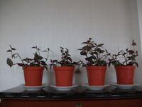 4 Tradescantia house plants
